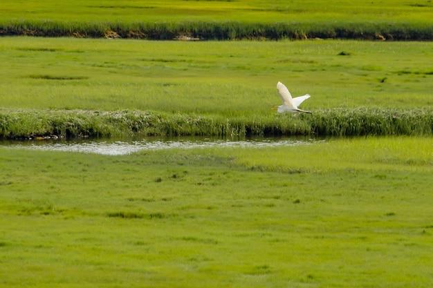 Pélican survolant une petite rivière dans un grand et beau champ vert