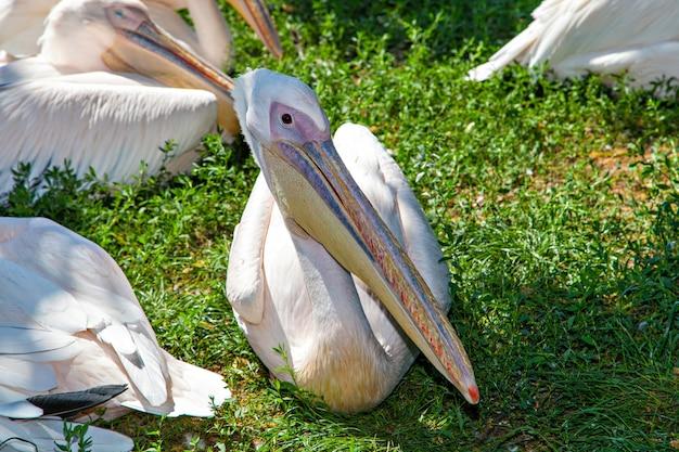 Pélicans blancs au lac. portrait. pelecanus onocrotalus