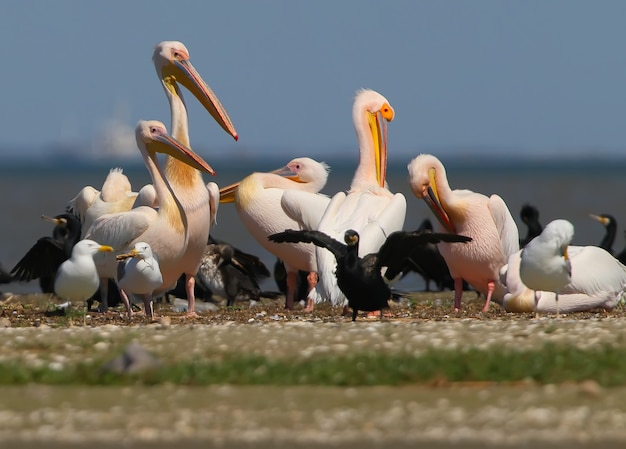 Les pélicans blancs, les cormorans et les mouettes reposent sur un banc de sable dans une journée ensoleillée