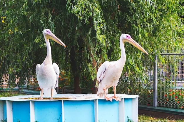 Pélicans blancs sur fond d'arbre. les oiseaux du zoo_