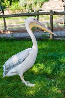 Pélicans blancs seuls au lac. pelecanus onocrotalus