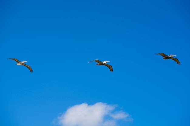 Pélicans des caraïbes volant dans une rangée