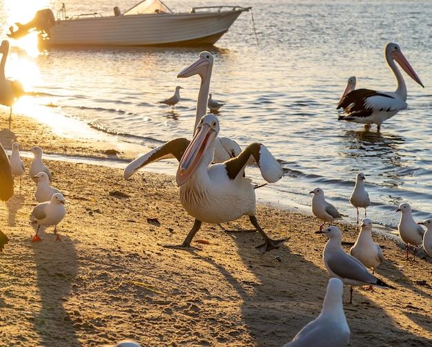 Pélicans dans une drôle de pose rivershore à noosaville, queensland, australie. concept d'animaux sauvages