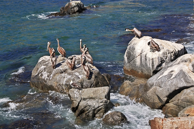 Pélicans dans le village de zapallar, chili