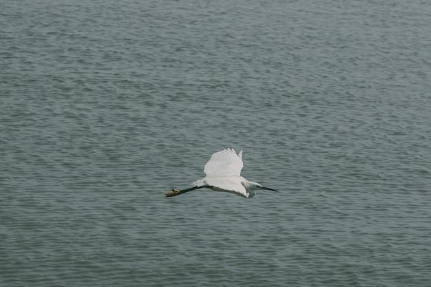 Les pélicans volent au-dessus de la surface de l'eau.