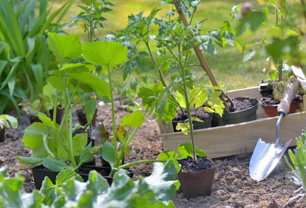 Pelle dans un potager pour planter des plants de tomates