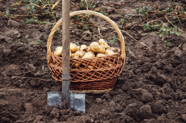 Pelle et panier en osier avec pommes de terre dans le jardin