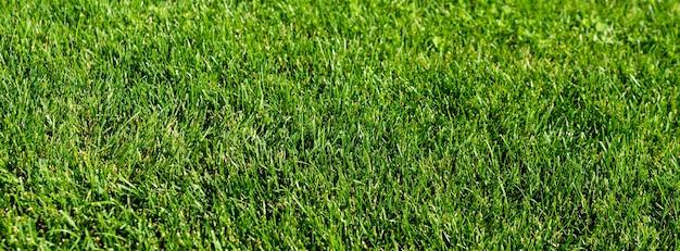 Pelouse d'herbe verte dans le jardin, sol vert
