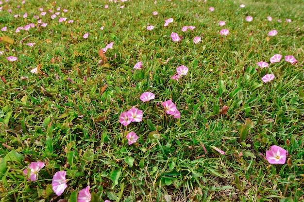 Pelouse avec pétunias, pétunia dans l'herbe verte, pétunia rose