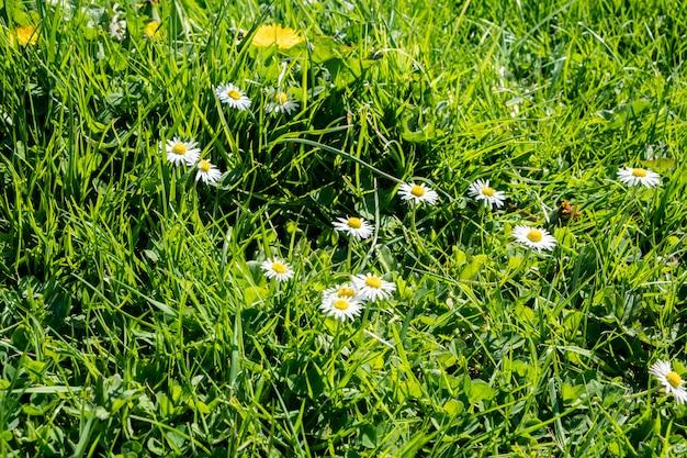 Pelouse verte au printemps avec des fleurs de pissenlit et des marguerites