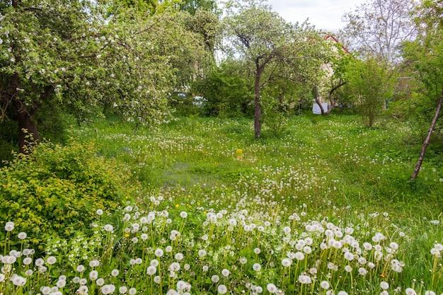 Pelouse verte avec des fleurs de pissenlit en fleurs sur une journée claire et ensoleillée au début du printemps été