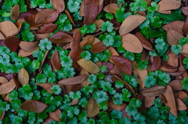 Pennywort (hydrocotyle sibthorpioides) avec des feuilles séchées d'arbre de pluie pour le concept d'arrière-plan.