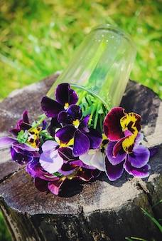Pensées aux fleurs épanouies. mise au point sélective. la faune et la flore.