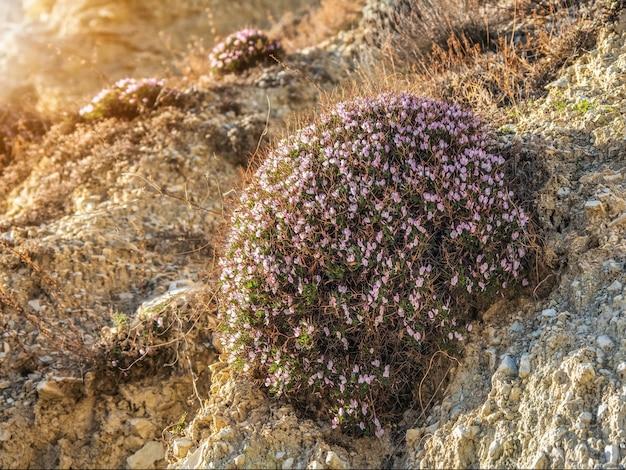 Pente de montagne ensoleillée et lumineuse avec des buissons de fleurs épineux. buisson d'onobrychis cornuta sur un versant de montagne.
