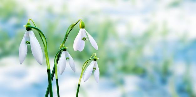 Perce-neige blanc sur fond flou pendant la fonte des neiges