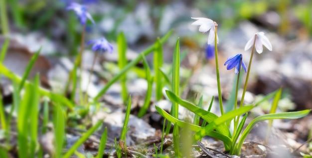 Perce-neige blanc fragile dans la forêt de printemps.