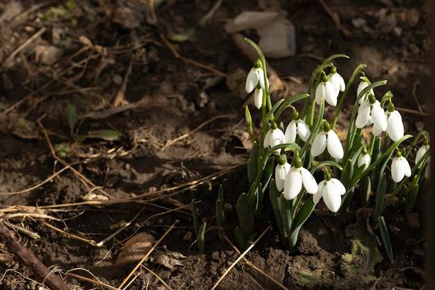 Perce-neige blancs premières fleurs au printemps fleurs par une journée ensoleillée