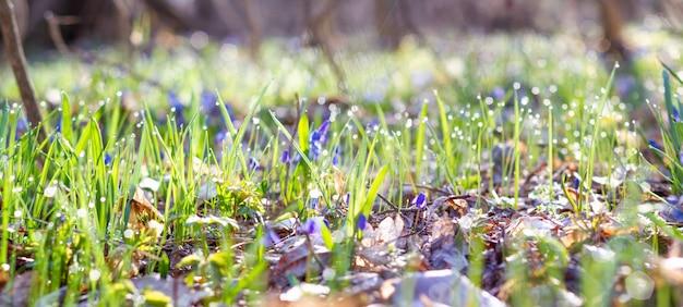 Perce-neige bleu dans la photo panoramique de la forêt de printemps. fleurs de scylla dans le gros plan du parc avec une place pour votre test unique. fleurs bleues dans la forêt du printemps