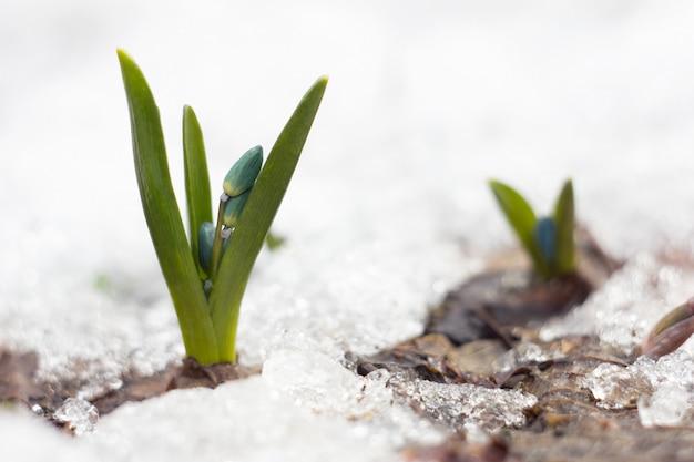 Perce-neige bleu, première fleur du printemps, fleurs sauvages bleues dans la forêt