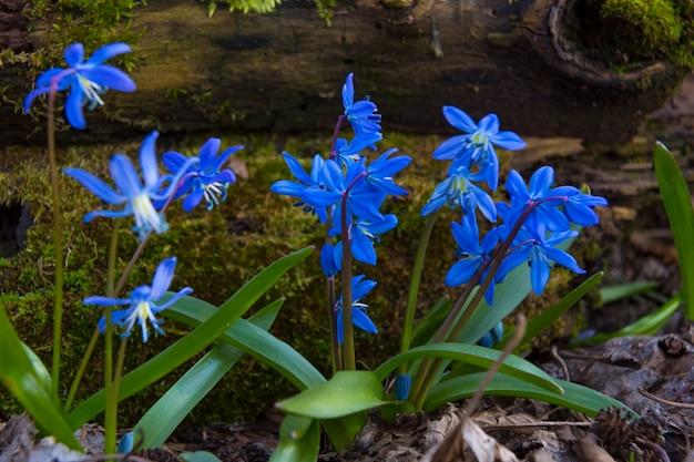 Perce-neige bleus en gros plan sur la forêt. fleurs sauvages du premier printemps sur fond flou naturel, mise au point sélective. scilla bifolia, scille alpine. printemps en forêt, printemps
