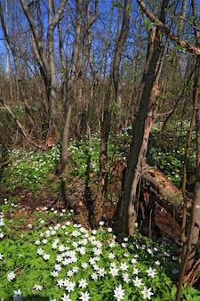 Perce-neige en bois de printemps