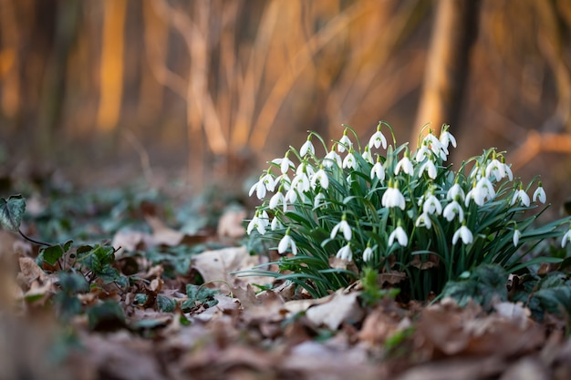Le perce-neige fleur de printemps est la première fleur à la fin de l'hiver et au début du printemps.