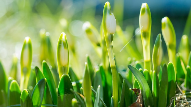 Perce neige avec fleur