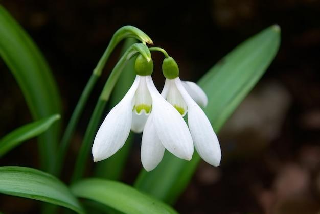 Perce-neige - fleurs blanches de printemps avec fond doux