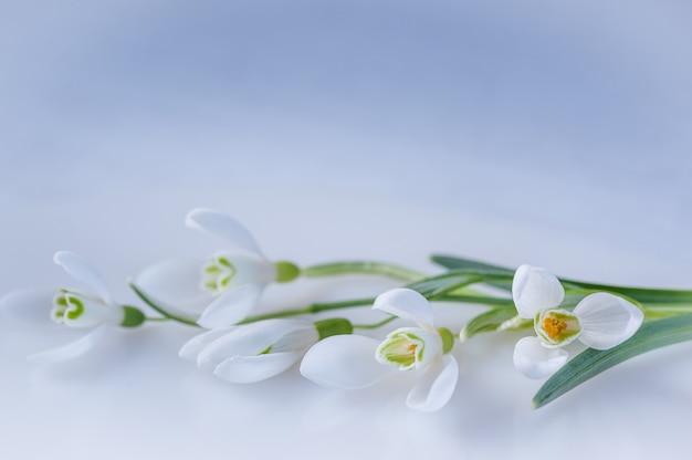Perce-neige sur fond blanc