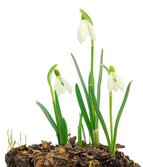 Perce-neige galanthus nivalis isolé
