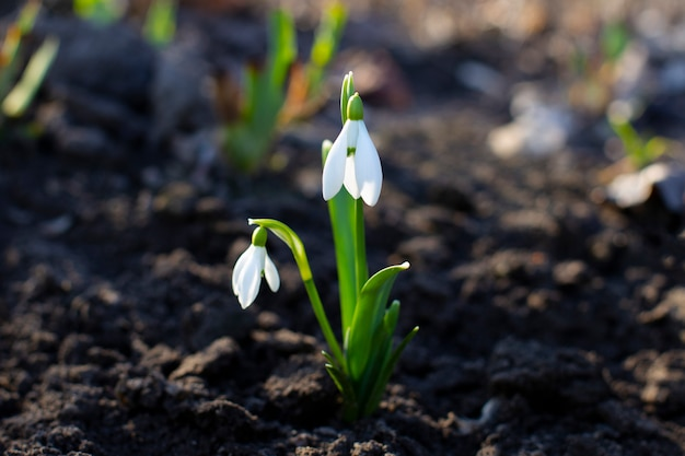 Perce-neige ou perce-neige commun galanthus nivalis fleurs. fleurs de printemps perce-neige.