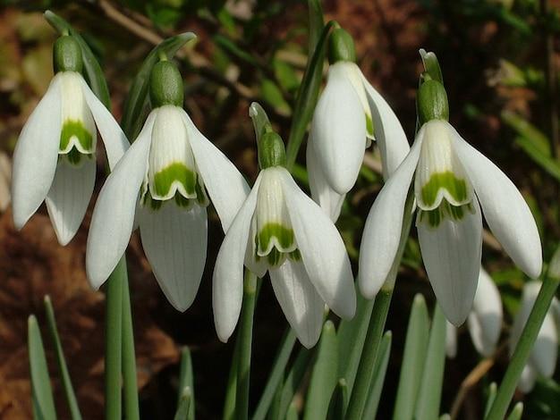 Perce-neige printemps des signes
