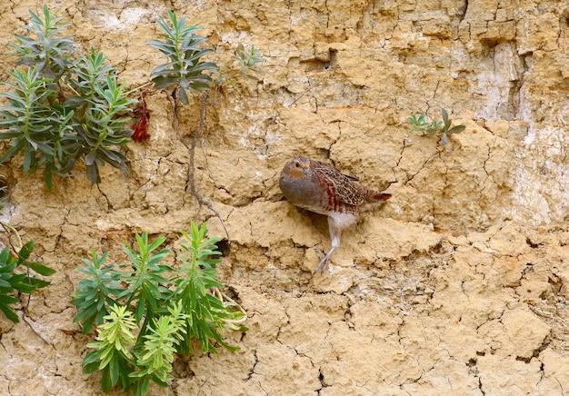 Perdrix grise dans un décor insolite sur un mur d'argile vertical.