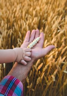 Le père donne au bébé un épi de blé à la main. mise au point sélective.