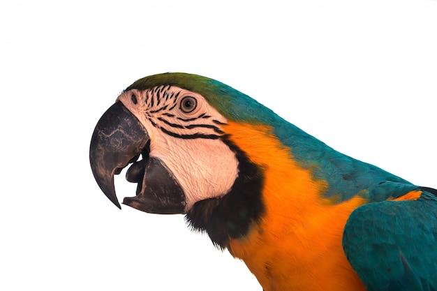Perroquet ara sur fond blanc