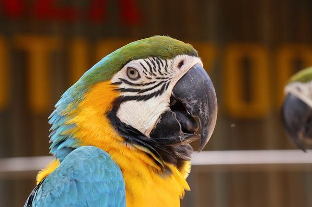 Perroquet ara
