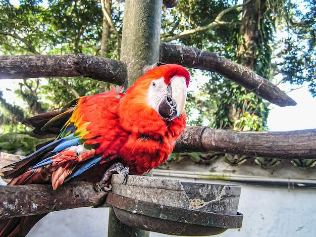 Perroquet arra. l'un des plus grands au monde. très intelligent et facilement apprivoisé. amérique du sud. venezuela.