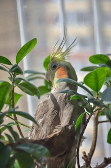 Perroquet calopsitte dans le feuillage des feuilles