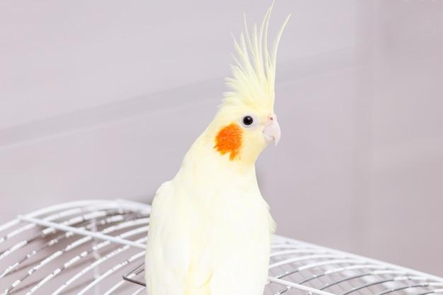 Perroquet calopsitte nymphe jaune sur cage oiseau à la maison.