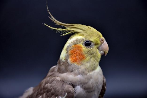Perroquet cockatiel gros plan sur fond noir perroquet cockatiel