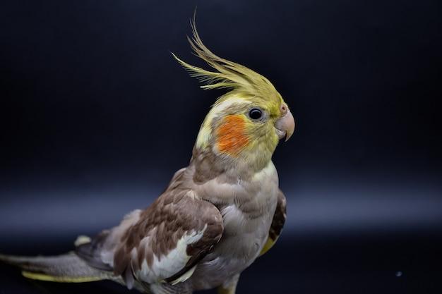 Perroquet cockatiel gros plan sur noir, perroquet cockatiel