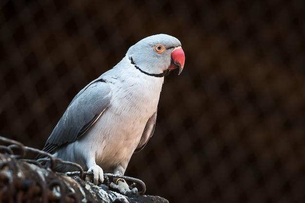Perroquet à collier indien