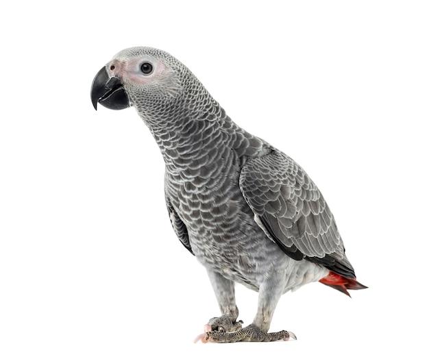 Perroquet gris d'afrique devant une surface blanche