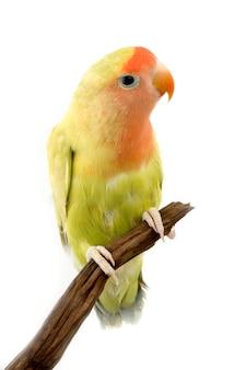 Perroquet isolé
