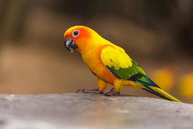 Perroquet jaune, sun conure