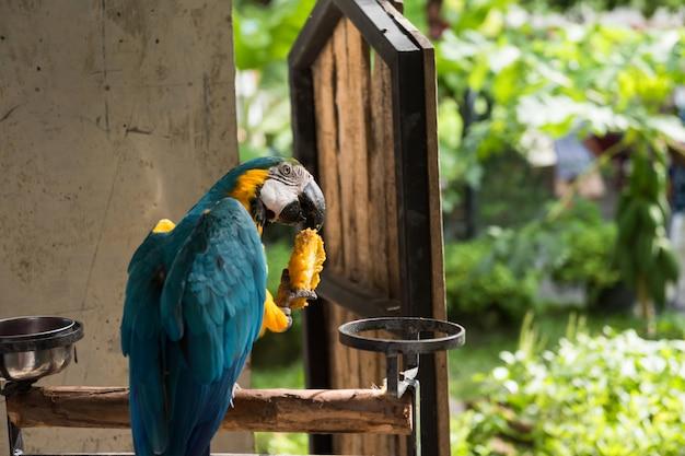 Le perroquet maccaw mange des fruits de mangue