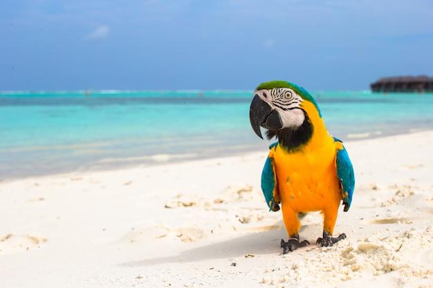 Perroquet mignon et coloré sur le sable blanc aux maldives