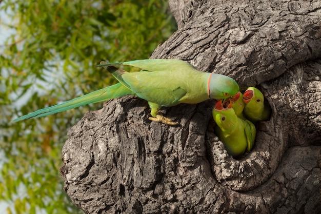 Perroquet nourrissant peu