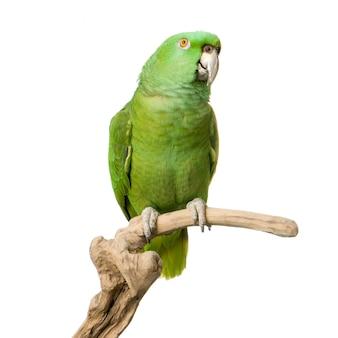 Perroquet à nuque jaune isolé