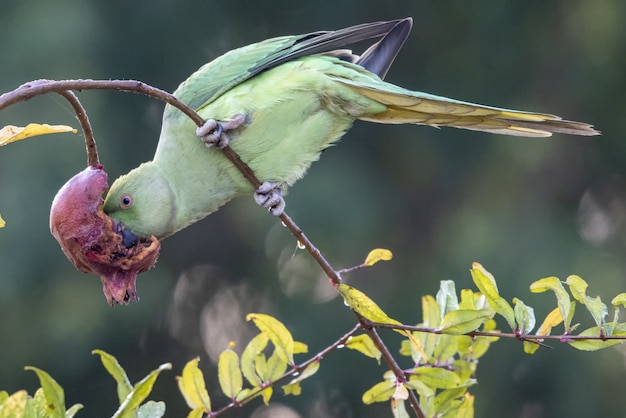 Perroquet picorant une fleur